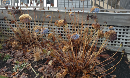 How to Put Your Hydrangeas to Bed for Winter