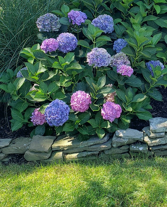 Mophead Hydrangea Wont Bloom: How To Put Your Hydrangeas To Bed For Winter