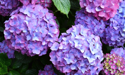 How to Get More Blooms on Your Hydrangeas