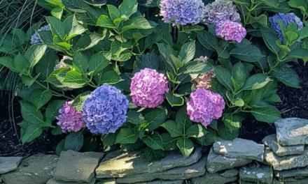 Types of Hydrangeas – Part 1: Bigleaf