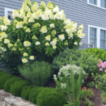 Hydrangeas Part 3: Oakleaf, Panicle & Climbing